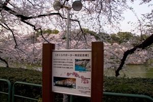 Chidori-ga-fuchi city park (Chidori-ga-fuchi)