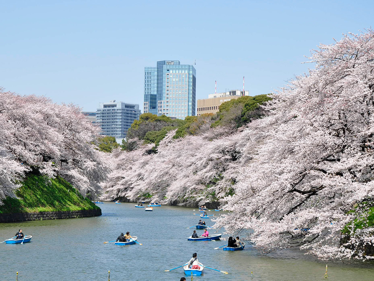 Chidori-ga-fuchi city park, cherry tree