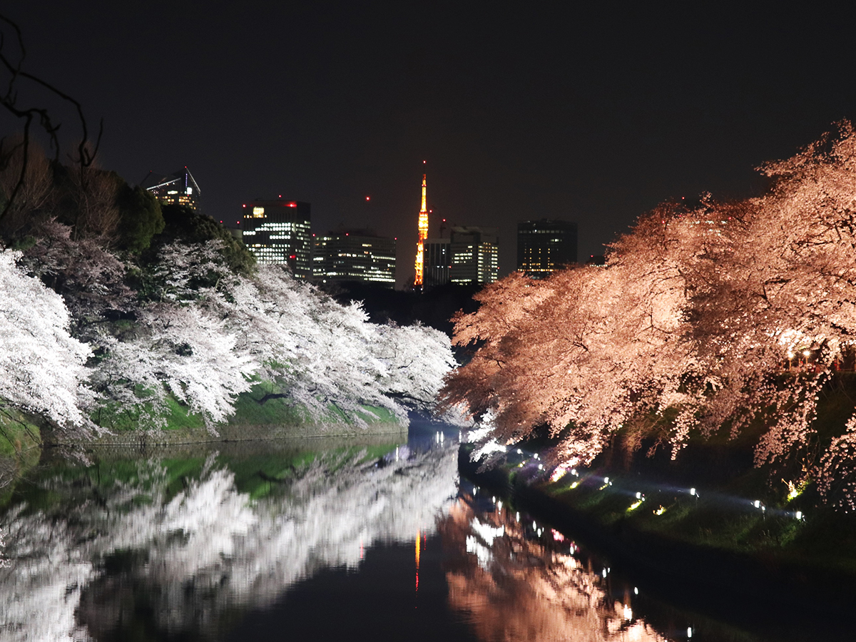 Chidori-ga-fuchi city park, going to see cherry blossoms at night