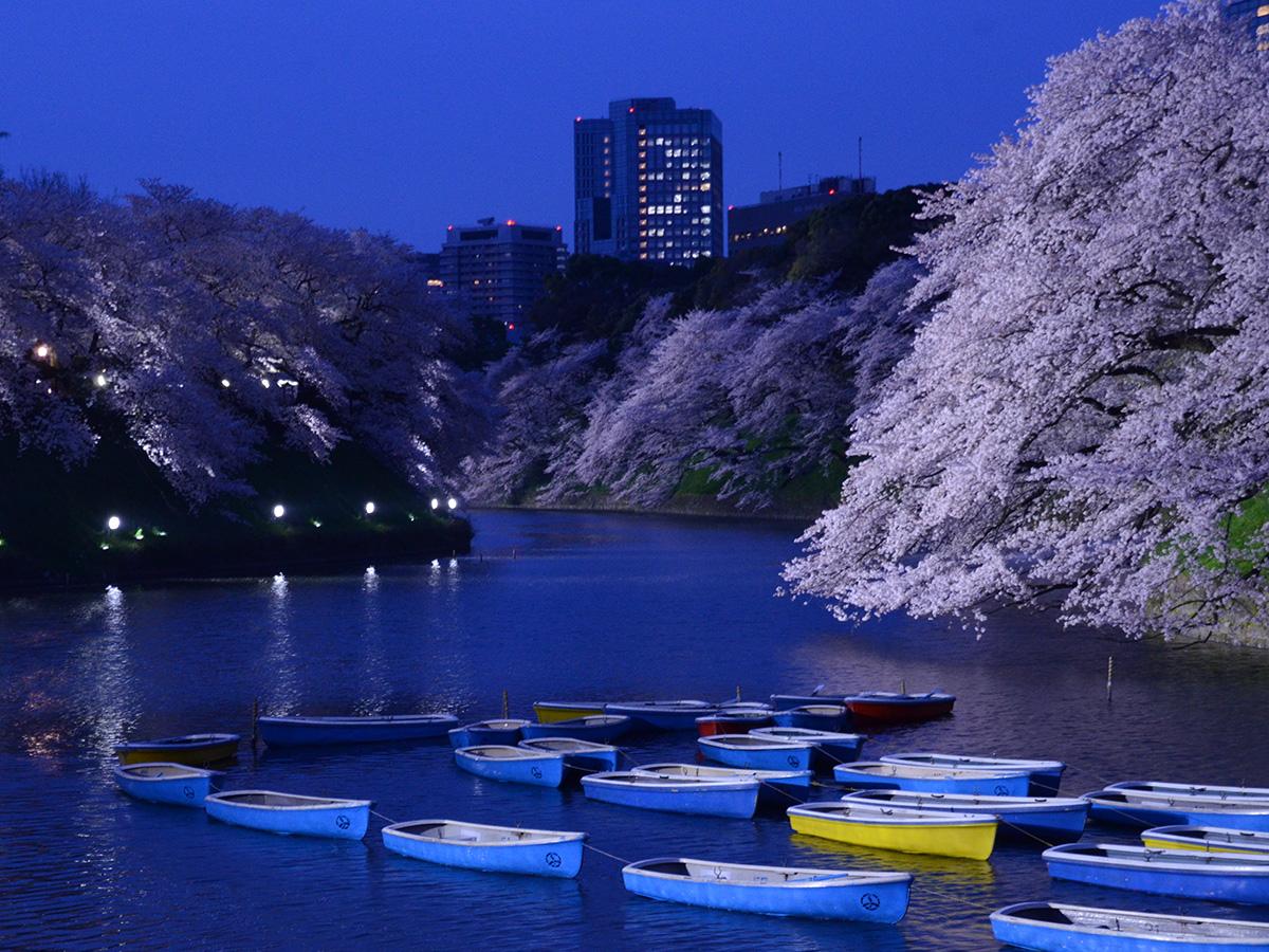 Chidori-ga-fuchi city park, going to see cherry blossoms at night
