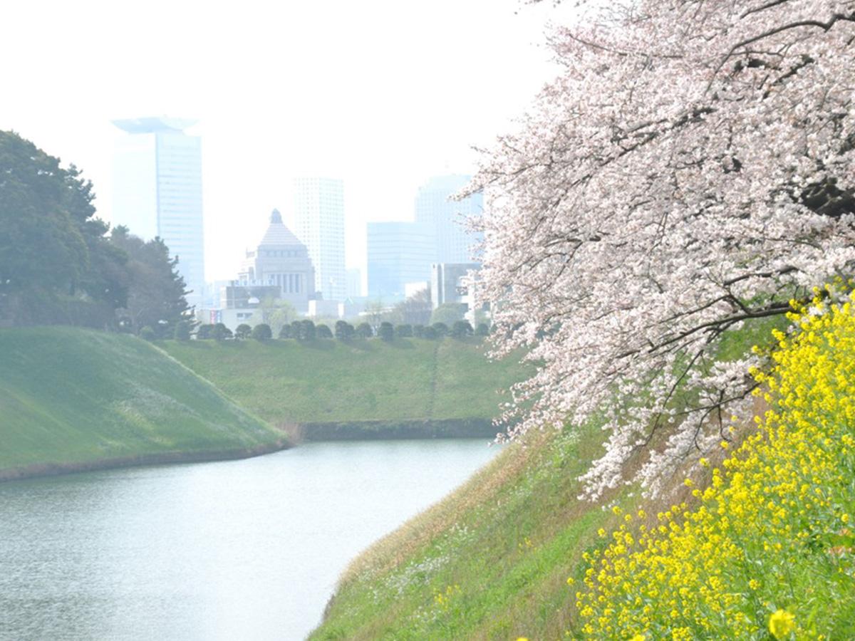 Chidori-ga-fuchi park, cherry tree