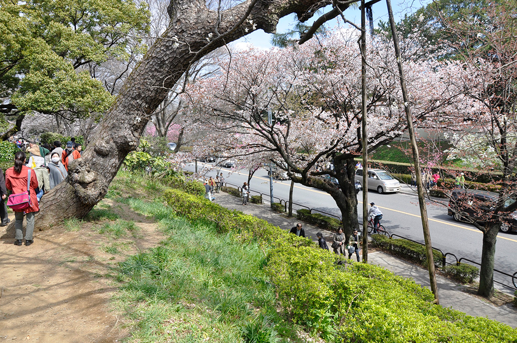 Illuminated Cherry Blossoms 夜桜ライトアップ